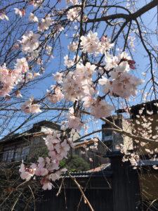 ハードロックカフェ京都桜